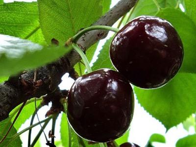 Болезни вишни и черешни